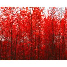 Autumn photography, fire engine red, scarlet, crimson, ruby red... ($24) via Polyvore featuring home, home decor, wall art, backgrounds, filler, photos, cranberry tree, fall trees, photo tree and red leaf cherry tree