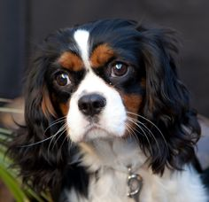 Cavalier King Charles Cocker Spaniel - Black, Brown and White. Seen a similar dog while out but he was black and tan. OMG I fell in love!
