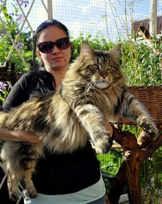 Maine Coon - and we thought Ziggy was a big cat