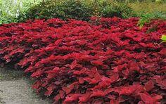 By planting a single variety, such as Redhead, you can get dramatic effects.