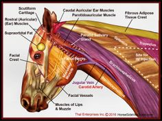 Horse Side Vet Guide® was originally created as a mobile application. Provide information horse side literally while you are standing next to your horse Equine Massage Therapy, Horse Anatomy, Animal Anatomy, Horse Care Tips, Horse Facts, Pet Vet, Muscle Anatomy, Veterinary Technician, Vet Assistant