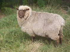 Moorit Sheep