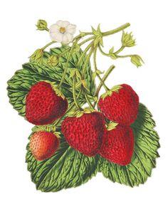 Strawberries // Vintage French Fruit Print // Digital Download // Printable Art Work // Decoupage on Etsy, $5.00