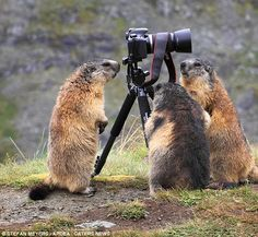 Group shot: These three cute marmot decided to huddle around the camera equipment for a closer look