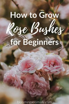 Rose bushes can add beautiful color to your garden. Grow different types of roses in your landscape to enjoy for most of the year. Click on the pin to learn how to grow rose bushes for beginners. #roses #rosebushes #rosebushescare #rosebusheslandscape Rose Bush Care, Rose Care, Outdoor Plants, Garden Plants, Outdoor Gardens, Outdoor Decor, Gardening For Beginners, Gardening Tips, Urban Gardening