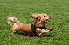 #VetsNorthSomerset Dachshunds have a wide color variety. They are as follows. Solid colors are: black, red (from strawberry blond to deep auburn), chocolate (brown),  cream (blond with no trace of red, and blue (gray). In the wirehaired variety, cream is referred to as wheaten.