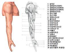 팔 근육 측면 Human Body Anatomy, Muscle Anatomy, Anatomy Poses, Anatomy Art, Elbow Anatomy, Human Sketch, Body Study, Learn Photoshop, Body Sketches