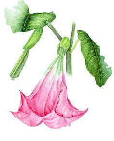 Brugmansia (angel's trumpet). Botanical Art, Botanical painting, Flower painting