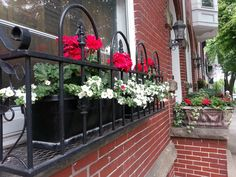 Geraniums downtown Frederick, Md