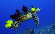 Peixes comem algas e parasitas da casca e da pele de uma tartaruga; a foto é de Andre Seale, feita no Havaí