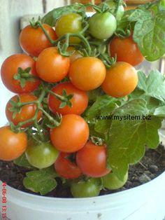 Saksıda domates yetiştirmenin püf noktaları