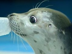 Meet Bryce, the blind seal pup who's thriving at the Alaska SeaLife Center