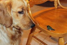 The hummingbirds love Maddie too. This one came in the kitchen and landed on the chair. Maddie just had to check it out a little closer. They will fly around her outdoors and often land on her.