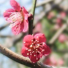 #flowerstagram #flower #instaflower #macro #macroflower #macrophotography #plumblossom #spring #springflowers #うめ  #梅#梅の花
