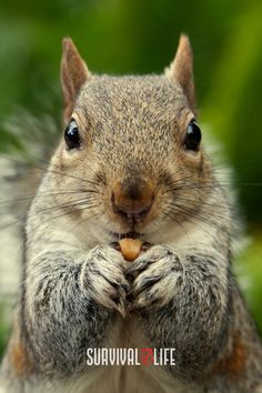 Ace squirrel hunting by learning the top tips such as squirrel calling or movement and more as you continue reading. #squirrelhunting #smallgame #smallgamehunting #huntingtips #hunting #survival #preparedness #survivallife Squirrel Calls, Squirrel Hunting, Red Squirrel, Squirrel Repellant, Get Rid Of Squirrels, Deer Processing, Survival Life, Survival Skills, Hunting Supplies