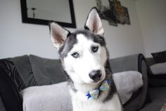 Diamond wearing her Snap around the Collar Bow from Auburn Rose Boutique on Etsy
