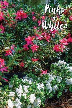 The world's best-selling reblooming azalea, Encore Azaleas bloom in spring, summer and fall. Choose from 31 multiseason blooming azalea varieties that love sun or part shade.
