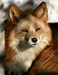 [Red Fox - How can you not love these beautiful creatures! Howz could yoo notz luv us? Animals And Pets, Baby Animals, Cute Animals, Wild Animals, Beautiful Creatures, Animals Beautiful, Beautiful Eyes, Fuchs Baby, Regard Animal
