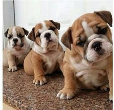 The major breeds of bulldogs are English bulldog, American bulldog, and French bulldog. The bulldog has a broad shoulder which matches with the head. Animals And Pets, Baby Animals, Funny Animals, Cute Animals, Cute Puppies, Cute Dogs, Dogs And Puppies, Doggies, Funny Dogs