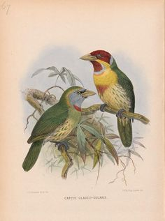 A monograph of the Capitonidae or Scansorial Barbets / - Biodiversity Heritage…