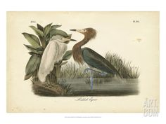 Audubon's Reddish Egret Art Print by John James Audubon at Art.com