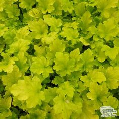 Heuchera 'Lime Marmalade' Unlike other lime heucheras, this will tolerate some morning sun but needs shade from the mid-day sun. Much stronger habit than other lime colours. Bright lime green foliage, with pretty white flowers in the summertime.