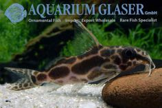 Roberts´ squeaker. The squeakers (Synodontis) are a very species-rich genus. More than 130 species are known, all of them originate from Africa. In the countries of their origin most species are used for food. In the aquarium hobby most species are unknown with a few exceptions.