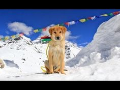 Rescued from a horrid life in an India dump, adventurer Joanne Lefson saved, adopted and took Rupee the dog on a trek that made him the first canine to officially climb to Mount Everest's base camp. Talk about being on top of the world! Mount Everest Base Camp, Everest Vbs, Homeless Dogs, Winter Kids, Best Sites, Rescue Dogs, Climbing, Dogs And Puppies, Dog Cat