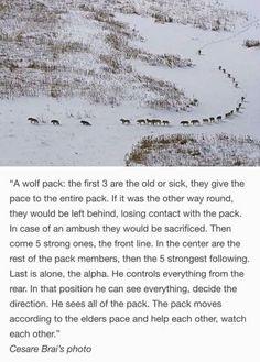 Amazing wolf pack behaviour.