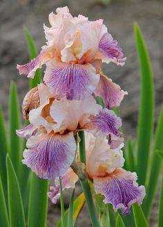 TB Iris germanica 'Splurge' (Ghio, 2009)