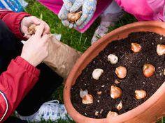 Kukkasipulien istutus ruukussa