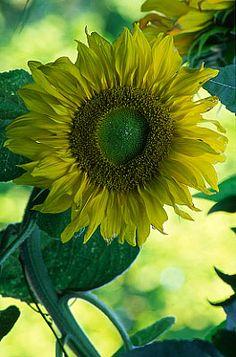 Flowers...Flowers...Flowers... Sunflower