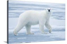 Polar Bear, Svalbard, Norway Photographic Print at AllPosters.com