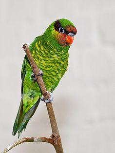 Mindanao Lorikeet - endemic to Philippines
