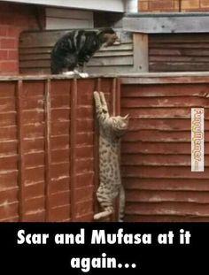 Cat memes  Scar and Mufasa at it again