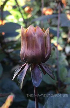 HOW TO DEADHEAD DAHLIAS FOR BLOOMS ALL SEASON LONG   The Impatient Gardener Pruning Azaleas, Growing Dahlias, Spring Garden, Bloom, Seasons, Flowers, Plants, Gardens, Seasons Of The Year