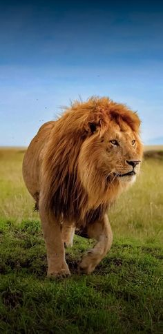 Lazy Animals, Animals And Pets, Cute Animals, Lion Wallpaper, Animal Wallpaper, Lion Pictures, Puppy Pictures, Wild Animals Photography, Carnivore