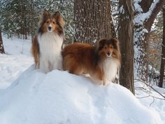 Sheepdogs in the snow