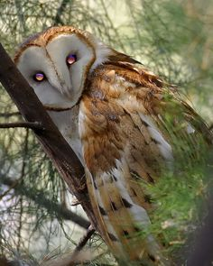 ✿ Barn Owl ~ the light reflecting on the Owl eyes is Truly Magical ✿