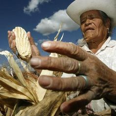 In Mexico, thousand of campesinos marched in the capital Thursday to protest the planting of genetically modified corn by U.S. corporations. Read more here: http://www.democracynow.org/2013/2/1/headlines/mexico_thousands_protest_bid_by_us_firms_to_plant_gmo_corn