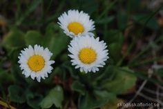 Blomma och blad är ätliga och kan användas i sallader. Inom folkmedicin vid feber, mot eksem och svamp, som slemlösande medel vid hosta och andra sjukdomar i andningsorganen. Saften i stänglarna