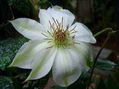 Woolly Clematis 'Henryi' (Clematis lanuginosa) ............................. Pale Green Stripes Fade to Pure White ........................................................................................................ Full Sun to Part Shade; Height: 6-10 feet; Zones 4-11; Pruning Group: 2