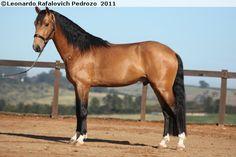 Lusitano - stallion Dorus Interagro