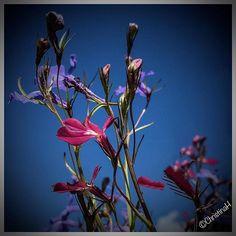 03.01.2017 (1049). Wishing for summer.  #flowers #sunshine #summer #naturephotos #nature #botany #England #thisismyeurope #thisismyengland #most_amazing_nature #most_amazing_flowers #macro #fliwersandmacro #flowerstagram #instapic #instaflower #flowerpiwer #flowermagic #la_flowers #lory.and.flowers #@loryandalpha #loves_flowers #@christina_helliwell #Photo_Star_Flower