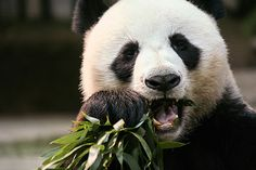 Panda at Toronto Zoo - Top 10 things to do in Toronto Toronto Zoo, Toronto Canada, Columbus Ohio Zoo, Learn Languages Online, Stuff To Do, Things To Do, Future Travel, Canada Travel, Trip Planning