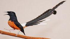 Suara Burung Murai Batu Juara Durasi Panjang