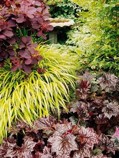 Create a dramatic display in your garden by partnering contrasting foliages such as purple Smoke Bush, Japanese forest grass (Hakone Grass), and Heuchera 'Palace Purple' (Coral Bells. Dream Garden, Garden Art, Garden Design, Purple Smoke Bush, Heuchera, Ornamental Grasses, Shade Plants, Landscaping Plants, Shade Garden