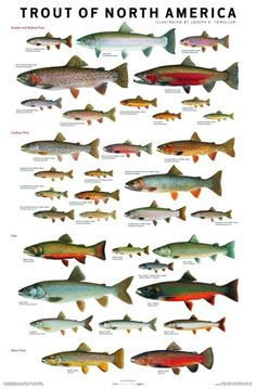 Trout are Awesome You wont believe the different colors they have. Utah has someof the best Trout in the World! Trout are Awesome Y Gone Fishing, Kayak Fishing, Trout Fishing Tips, Fishing 101, Fishing Stuff, Fishing Knots, Saltwater Fishing, Shimano Fishing, Fishing Hole