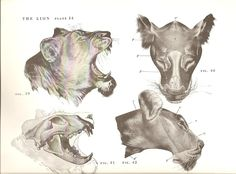 From An Atlas of Animal Anatomy for Artists by W. Ellenberger.