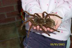 Goliath Spider.